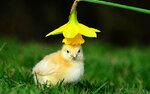 POTD_chick_3597497k.jpg